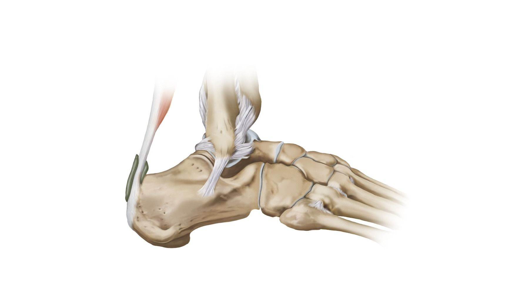 Ankle Joints | www.topsimages.com